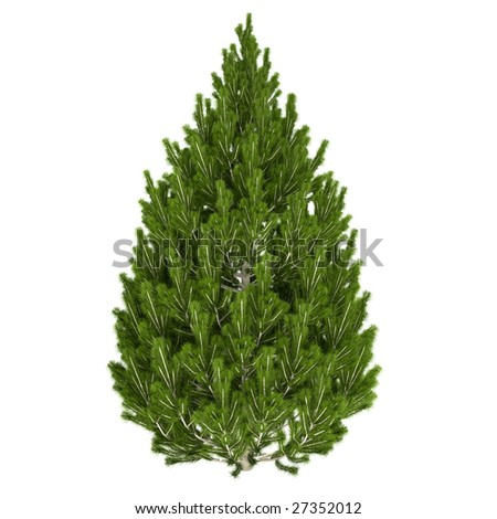 Pine tree isolated on white background