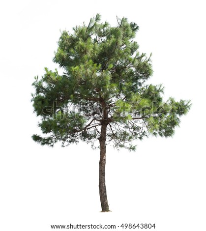 Pine tree isolated on white background.