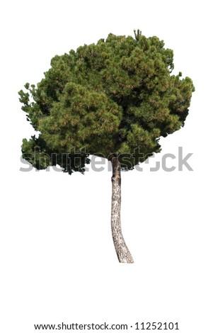 Pine tree isolted on white background - stock photo