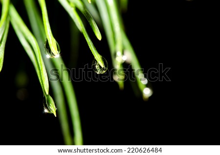 Pine tree needles with water drops isolated on black background.  - stock photo
