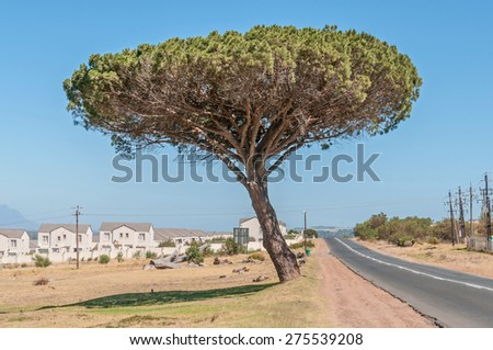 Pine tree next to the road between Somerset West and Sir Lowrys Pass town - stock photo