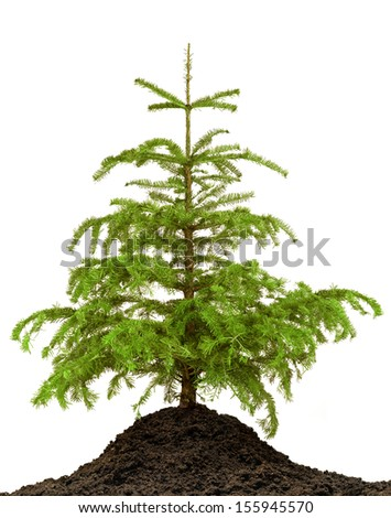 Pine tree on ground isolated on white background - stock photo