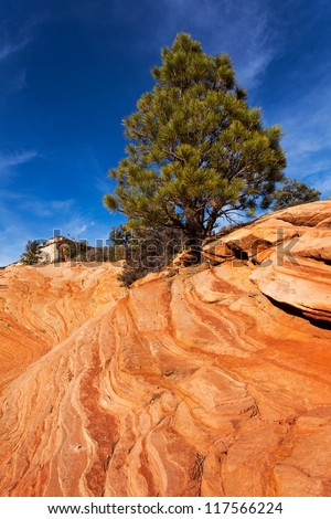Pine Tree On Red Rocks In Utahs Zion National Park