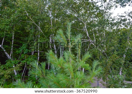Pine Tree, Pinus in Canada.