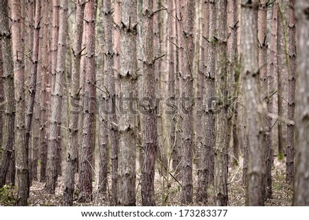 PINE TREE TRUNKS BACKGROUND