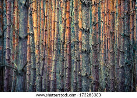 PINE TREE TRUNKS BACKGROUND - stock photo