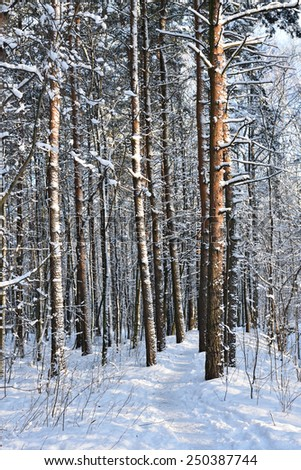 Pine tree trunks covered with snow in winter park - stock photo
