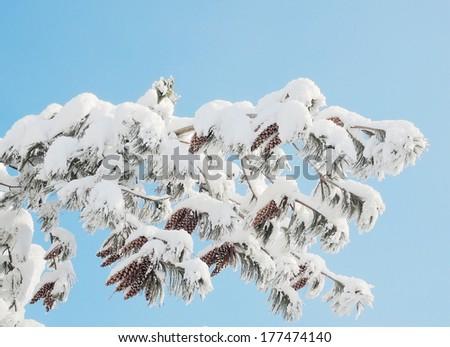 pine tree with cone - stock photo