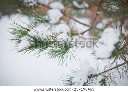 pine tree with snow on the branches outdoor