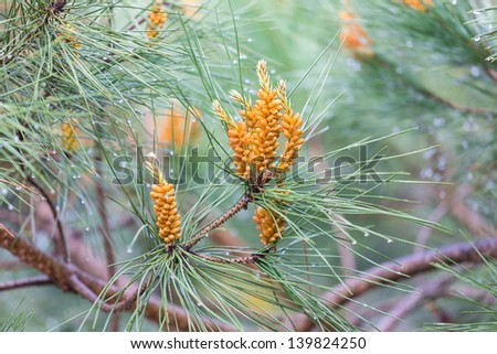Pine tree with water drops after a rain shower - stock photo