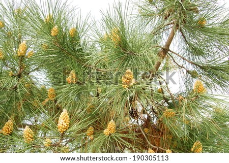 pine tree with yellow flowers