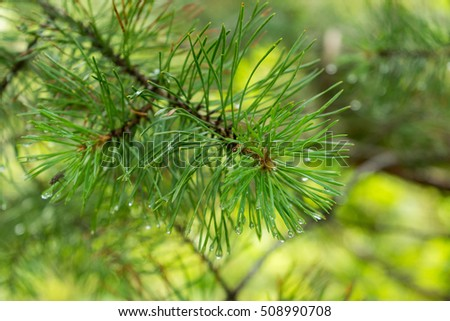 Pine tree young branch end on blurred background macro view