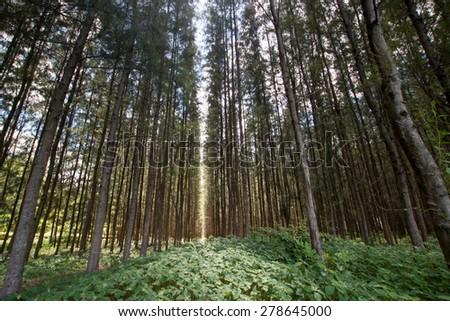 Pine trees - stock photo