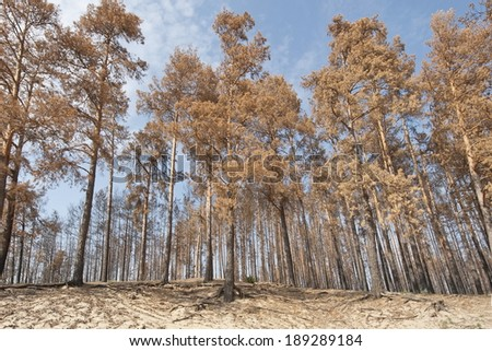 Pine trees after a fire in Russia. - stock photo
