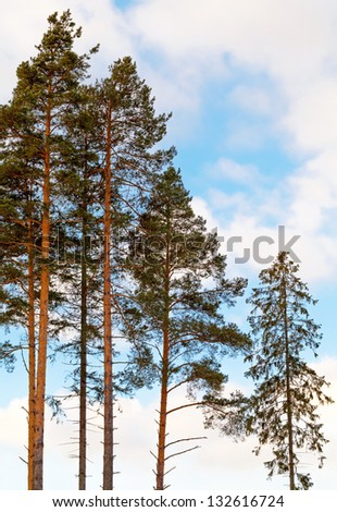 Pine trees and fir in the forest above cloudy sky - stock photo