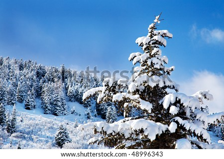 Pine trees are heavy with snow, and the new-fallen snow sparkles in the sunlight against a brilliant blue sky and fluffy white clouds. - stock photo