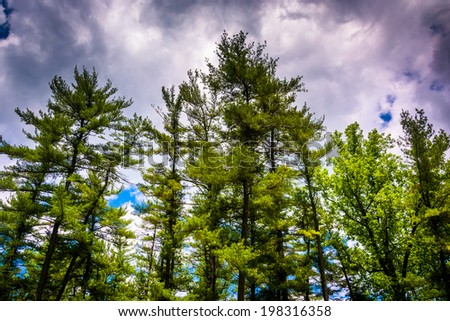 Pine trees at Loch Raven Reservoir in Baltimore, Maryland. - stock photo