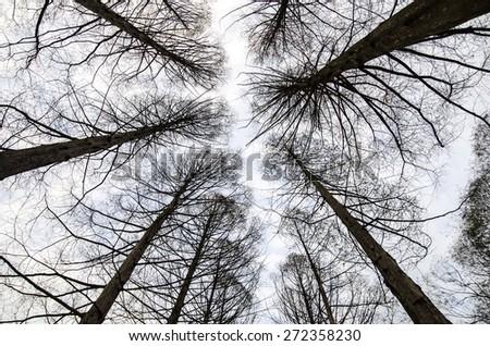 Pine trees at Nami island, South Korea. - stock photo
