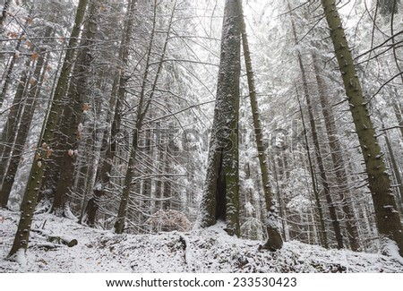 Pine trees covered in snow during winter