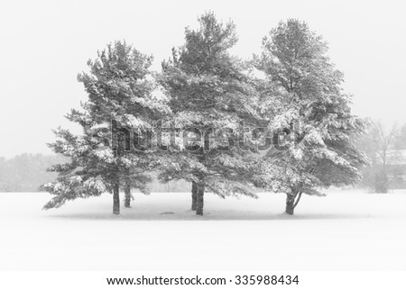 Pine Trees Covered in Snow during Winter Storm - stock photo