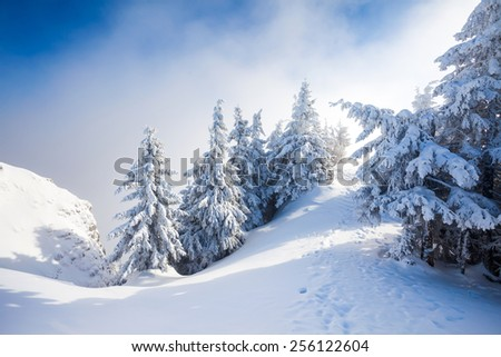Pine trees covered in snow on winter season in Poiana Brasov, Romania - stock photo