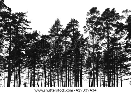 Pine trees forest isolated on white background. Black stylized silhouette photo