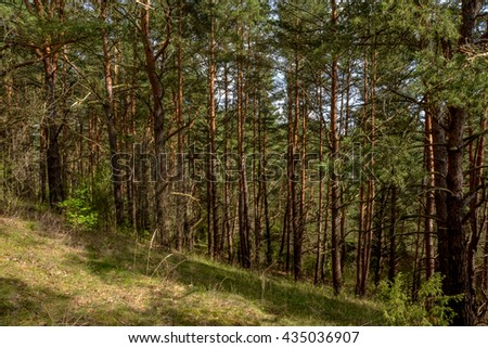 pine trees growing in the forest on the slopes of Slobodka esker ridge Nedrava lake, Braslaw, Belarus