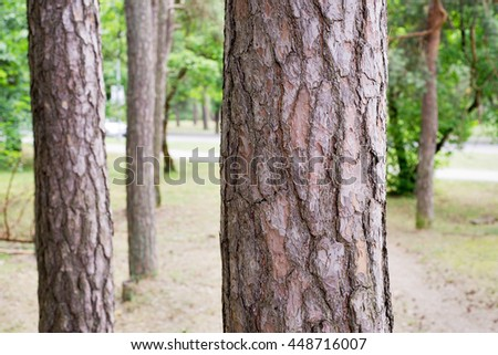 Pine trees in a park, summer time