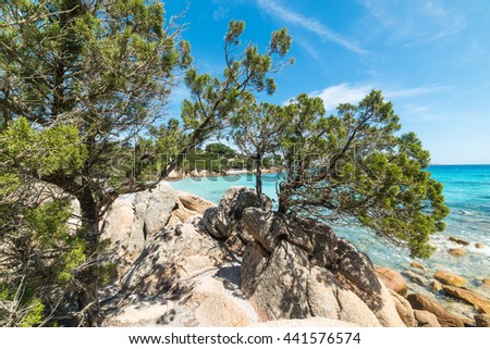 pine trees in Capriccioli coast, Sardinia