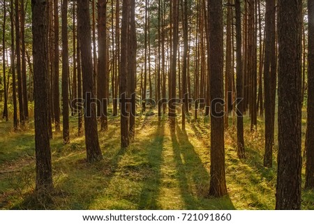 Pine-trees in forest at sunset in Palanga, Lithuania