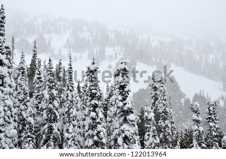 Pine trees in heavy snow in Olympic National Park. - stock photo