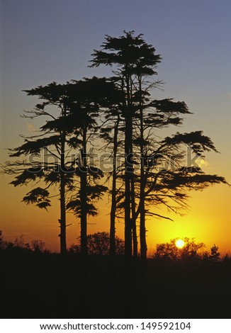 Pine trees in silhouette at sunset/sunrise growing on a hillside in Essex England   - stock photo