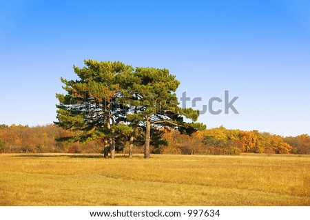 Pine-trees in the field