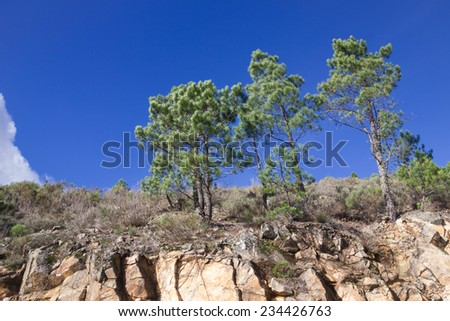 Pine trees on cliff