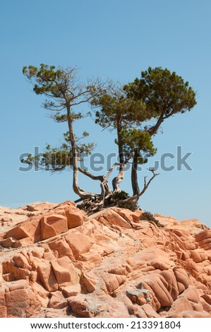 pine trees on red rocks
