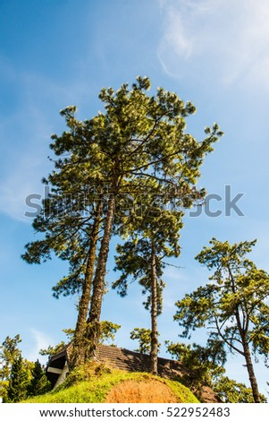 Pine trees with blue sky at Huai Nam Dang national park, Thailand.