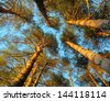 Pine trees with blue sky behind - stock photo