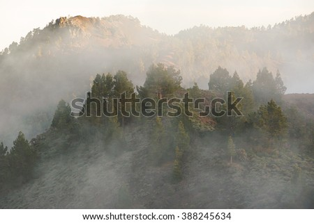 Pine trees with fog - stock photo