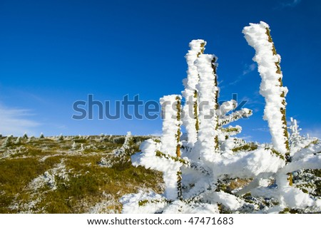 Pine trees with frozen snow against blue sky