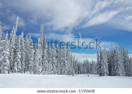 Pine trees with snow in Steamboat Springs, colorado, Usa - stock photo