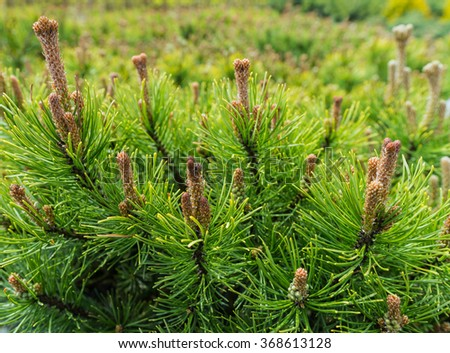Pine trees with yang pine cones and green pine needles in garden store centre - stock photo