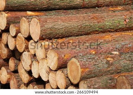 pine trunks (Pinus sylvestris) - stock photo