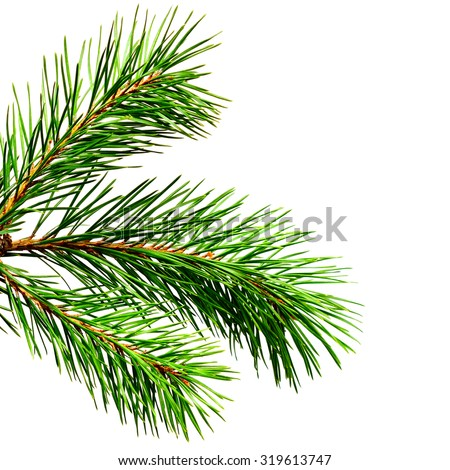 Pine twig isolated on white