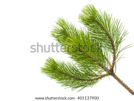 pine twig isolated on white background - stock photo