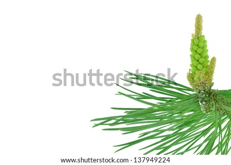 pine twig on white background