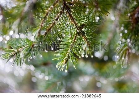 Pine twig with drops after the rain - stock photo