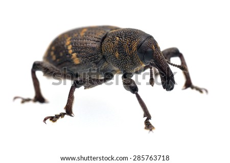 Pine weevil Hylobius abietis - isolated on white. - stock photo