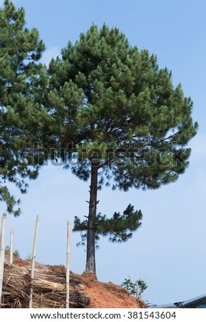 pine with blue sky
