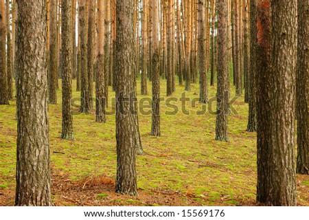 Pine wood - stock photo