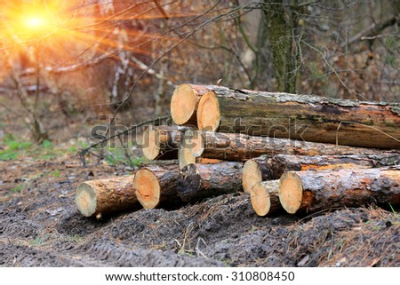 Pine wooden logs in forest - stock photo